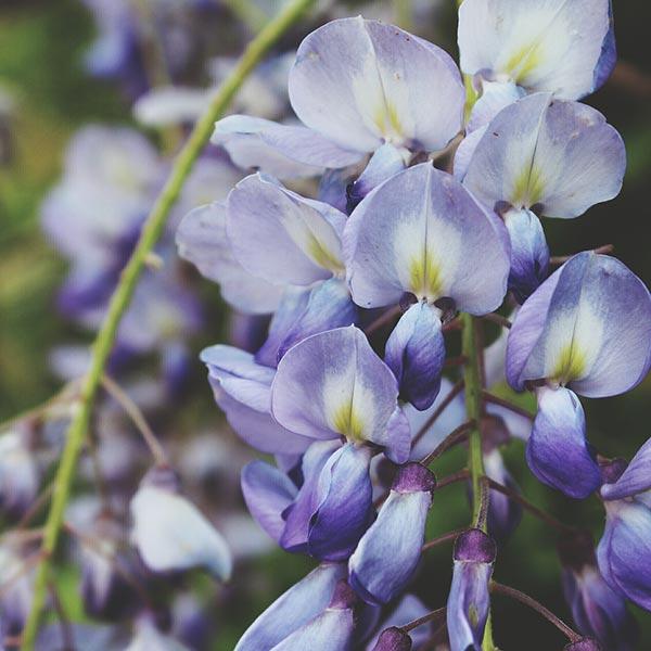 Wisteria lane ou comment utiliser la fleur de glycine en - Comment utiliser la ricotta en cuisine ...